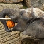 Open wide: An elephant munches on a pumpkin at the Schoenbrunn Zoo in Vienna, Austria. - Photo by DANIEL ZUP / SCHOENBRUNN / HANDO / Today